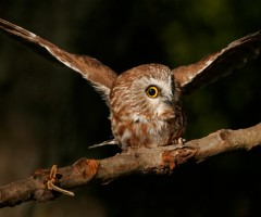 small cute northern Saw-Whet owl