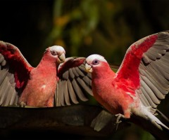 galah couple, australia