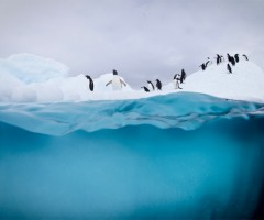 penguins play and dive, antarctic