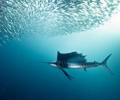sailfish and bait fish