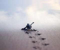 baby turtle running to the sea