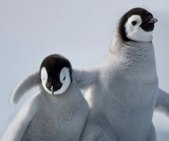 emperor penguin youth hugging