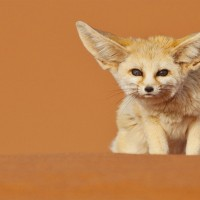 fennec fox in deserts of morocco
