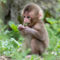 japanese macaque baby monkey