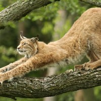 lynx stretching on a tree