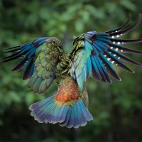 majestic kea in flight, new zealand