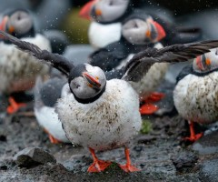 puffin bird shakes off the rain
