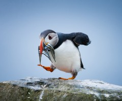 atlantic puffin, faroe islands