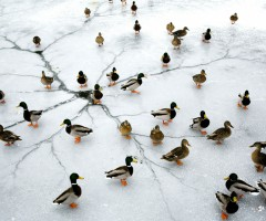 ducks on frozen lake