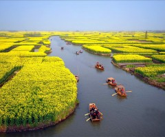 flowering cole fields near xinghua city, china