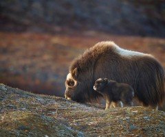 musk ox mom and baby