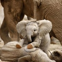baby elephant massaging his brother