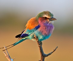 colors of lilac breasted roller bird