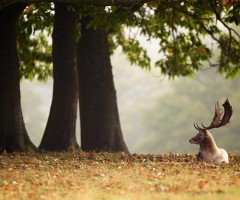 deer under the chestnut tree