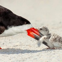 black skimmer and a baby chick