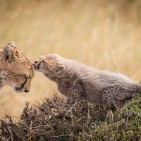 cheetah cub and her mother, kenya