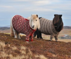 ponies in sweaters, scotland
