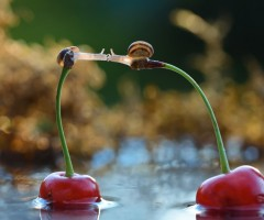 snail kiss on cherries