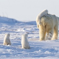 a happy family of polar bears
