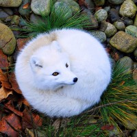 beautiful arctic fox