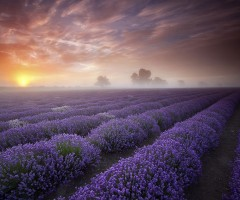 blooming lavender field, france