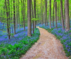 bluebells in halle`s forest, belgium