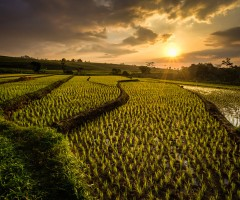 ricefields of ngawi, java, indonesia