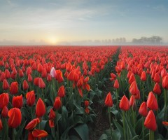 sea of tulips, holland