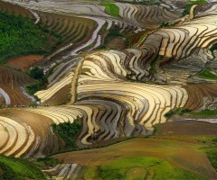 shiny rice terraces, vietnam