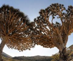 socotra archipelago trees