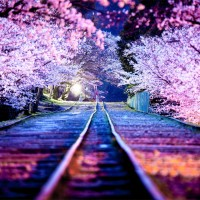 spectacular cherry blossoms at night, japan