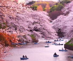 rowing boats during cherry blossom at chidorigafuchi, japan
