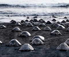 turtles laying millions of eggs on a beach