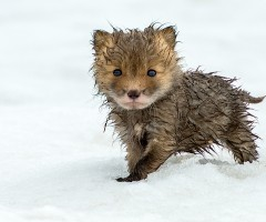 cute wet fox cub