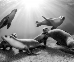 australian sea lion pups