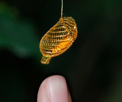 golden moth cocoon