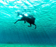 horse swimming in the ocean