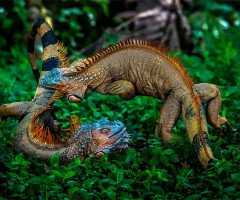 battle of green iguanas