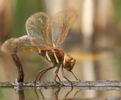 brown hawker, a large dragonfly