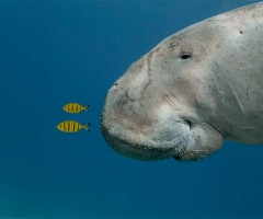 sea cow of red sea