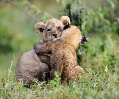 adorable lion cubs hug