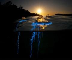 bluebottle cnidaria jellyfish, australia
