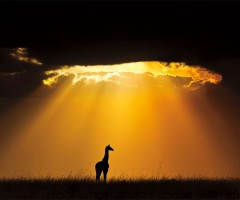 giraffe under sun light, masai mara national reserve, kenya