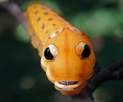 orange spicebush swallowtail caterpillar