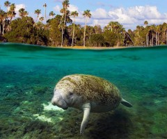 swimming manatee, kings bay, georgia
