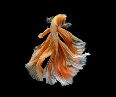 the siamese fighting fish