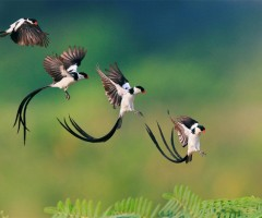 landing of pin tailed whydah bird