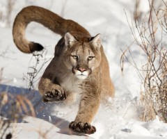 mountain lion walks through the snow