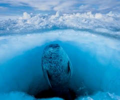 seal floats calmly beneath the frozen surface