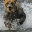 bear running through water